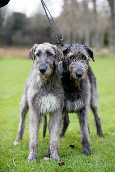The Irish Wolfhound: Why the archetypal 'gentle giant' was a favourite of the aristocracy, John F. Kennedy and now, Trudie Styler – Country Life Irish Wolfhound Dogs, Baby Dogs, Pet Dogs, Dogs And Puppies, Corgi Puppies, Weiner Dogs, Irish Hound, Loyal Dogs, Animals