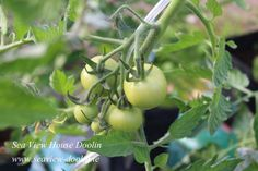 The first of this years tomato crop are well on the way. Here's hoping for some sunny weather to finish off the job.
