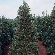 Oak Leaf Holly for Sale | Fast-Growing-Trees.com