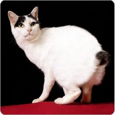 Japanese Bobtail cats are very unique.