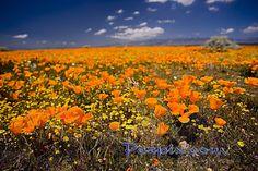 Lancaster Poppy Fields