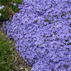 Purple Ground Cover, Ground Cover Flowers, Ground Cover Plants Shade, Ground Covers For Sun, Best Ground Cover Plants, Low Growing Ground Cover, Ground Covering, Sun Loving Plants, Sun Plants