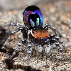We are here to appreciate the awesome majesty and incredibly cool aspects of nature. Jumping Spider, Little Critter, Rare Animals, Bugs And Insects, Reptiles And Amphibians, Nature Images, Kawaii, Beautiful Creatures, Pet Birds