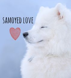 Samoyed Love