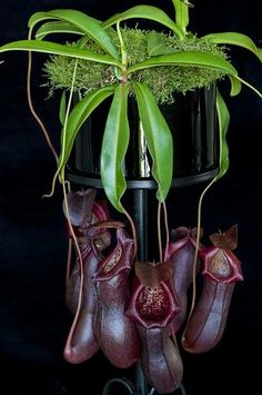 Dark Nepenthes(deep red) not carnivorous. Weird Plants, Unusual Plants, Rare Plants, Exotic Plants, Cool Plants, Tropical Plants, Strange Flowers, Unusual Flowers, Rare Flowers