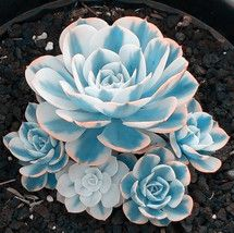 100 seeds/pack Mini Potted Succulents Seed Stone Blue Lotus Flower Seeds Garden Decoration Bonsai Flower Seeds Features Specifics Product Type Bonsai Size Small,Mini Brand Name NoEnName_Null Style Perennial Full-bloom Period Autumn Clim. Growing Succulents, Cacti And Succulents, Planting Succulents, Planting Flowers, Lotus Flower Seeds, Blue Lotus Flower, Flower Pots, Lotus Flowers, Succulent Seeds