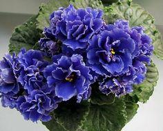 La violeta africana y sus variados colores