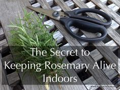 Follow these tips to keep a rosemary plant inside over the winter.