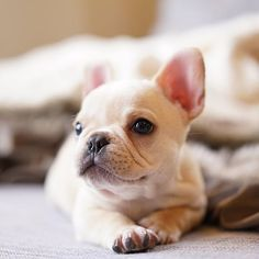 """""""I'm an angel, trust me"""", French Bulldog Puppy, #imhandsome on instagram."""