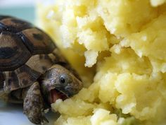 turtle eating potatos! so cute!! :3