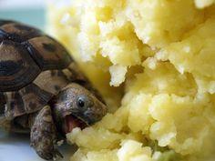 Tortue qui mange de l'écrasé de patates