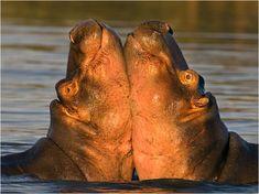 Cute Hippo, Baby Hippo, Elephant Photography, Animal Photography, Beautiful Creatures, Animals Beautiful, Animals And Pets, Baby Animals, Hippopotamus For Christmas