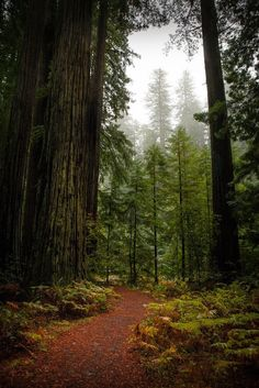 Coyote Atelier redwood love: Big Tree Trail, Humboldt Redwoods State Park, California by Gary Rides Bikes State Parks, Humboldt Redwoods State Park, Humboldt County, Redwood Forest, Photos Voyages, Tree Forest, Forest Trail, All Nature, Big Tree