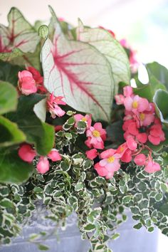 Calling all porches! This shade-loving mix is just for you! Ingredients: White Queen Caladiums, Whopper Begonia, Variegated Creeping Fig by Carmen Johnston Gardens