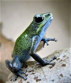 Rainbow Poison Dart Frog