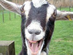 Goats on camera