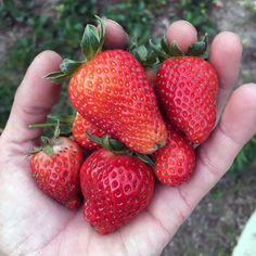 Strawberries are super-easy to grow, but there are a few important tips to keep in mind. Here's everything you need to know to grow gallons of strawberries in your garden. Easy Diy Crafts, Super Easy, Strawberry, Strawberry Fruit, Strawberries