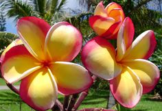 rainbow plumeria -   Flowers are about 3½ in diameter and have vibrant pink edges fading to light pink with an intense gold inner edge. Petals have rounded tips and are moderate overlapping. The texture is heavy. Frangrance is slight sweet and the keeping quality is very good.