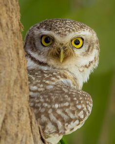 """camera-raw: """"awaismustafa86: """" Eyes / Spotted Owlet 500px 