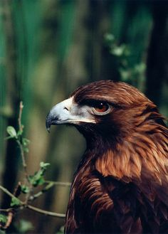 Golden Eagle at Camperdown Wildlife Centre in Dundee, Scotland (Photo credit: http://www.flickr.com/photos/63001839@N00/)