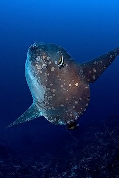 Ocean Sunfish (Mola Mola)- these fish amaze me and I do not know why....maybe because they are huge and crazy weird looking! :)