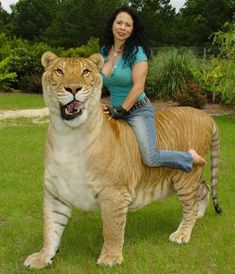 Rajani Ferrante can easily have a liger ride by sitting on the back of Hercules the liger.