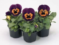 Check out the deal on Pansy Inspire+ PR Purple-Orange 250 seeds at Hazzard's Seeds Halloween Flowers, Perennial Vegetables, Ornamental Grasses, Pansies, Indoor Plants, Perennials, Planter Pots, Seeds, Orange