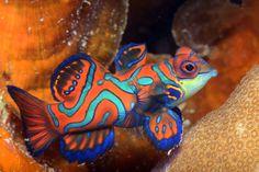 orange and turquoise saltwater fish Colorful Fish, Tropical Fish, Goby Fish, Mandarin Fish, Saltwater Aquarium Fish, Types Of Fish, Orange And Turquoise, Coral, Beautiful Fish