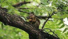 Grey squirrel needs some banana bread to wrap around that walnut.  #nwf #nationalwildlifefederation #BackyardHabitat #nature #wildlife