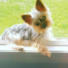 Yorkies Whenever they're confused, they give you this look. - Warning: Yorkies will change your life. Perros Yorkshire Terrier, Yorkshire Terrier Haircut, Yorkshire Dog, Yorky Terrier, Yorshire Terrier, Yorkies, Yorkie Puppy, Teacup Yorkie, Cute Puppies