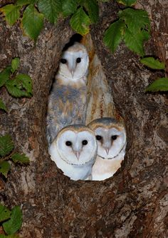 Young Barn Owls (Tyto Alba) by sharpshooterjan // Chouettes Effraie -    ¶¶ #toutoblog.unblog.fr aime ☺