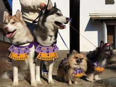 suits of samurai armor for both cats and dogs - Pesquisa Google