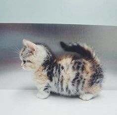 Munchkin Kitten. So much fluff