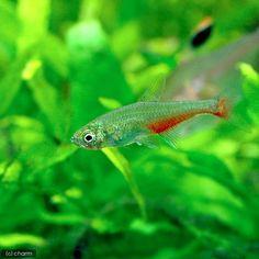 (熱帯魚)単品 グリーンファイアー・テトラ