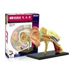 This miniature medical model will teach your family more about ear structure than any other method. For those families who suffer through recurring bouts of ear infections, this is a realistic way for your child to get a grasp of what is happening. Made up of 22 of the most anatomically-correct pieces, the ear's hand-painted parts are sculptured with exceptional detail.   $17.95