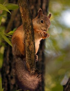 Squirrel in the fall, preparing for winter!.