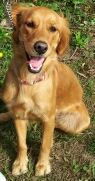 This is Ruby approx 8-18 months old. She has had very little training and is a high energy girl. She needs a forever home with patience and willing to commit to plenty of daily exercise and obedeince class. Ruby is looking for a forever home and is at Long Island Golden Retriever Rescue NY.