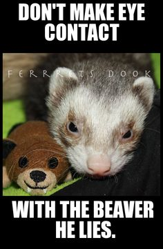 #ferrets #cute #animals #ferret #funny #for kids #forever #awesome #home #love