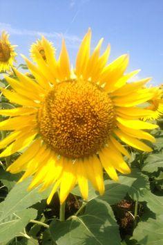 向日葵畑☆キレイでした。 #his_orange