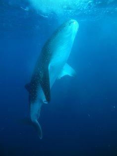 Whale Shark Diving in Utila, Honduras