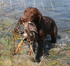 Chesapeake Bay Retriever | Chesapeake Bay Retriever Training, Chesapeake Bay Retriever Trainer
