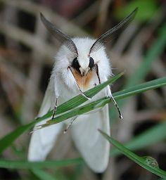 Google-kuvahaun tulos kohteessa http://miacy.homestead.com/Agreeable_Tiger_Moth_face.jpg