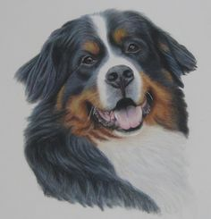 Bernese Mountain Dog Portrait. Pencil Drawing. Commissions Welcome.
