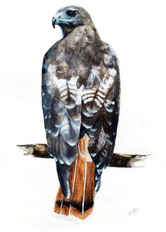 Red Tailed Hawk Print of Original Watercolor by Ghirardelli, 7$