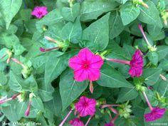 four o'clock flowers | four o'clock flower