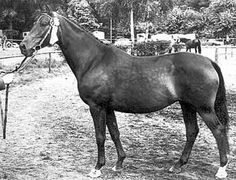 The Trakehner mare Maharani II (Flaneur X Marquise) was the 1981 Reserve Champion Mare at the 3rd National Show of the breeding district in Rheinland Sonsbeck. She was the dam of full brothers Mahagoni and Marlon, among others.