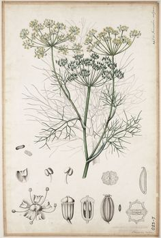 Foeniculum vulgare from Duisdeiker, Elisabeth, Industrieschool voor… Vintage Botanical Prints, Botanical Drawings, Botanical Art, Vintage Prints, Nature Illustration, Botanical Illustration, Amazing Drawings, Cute Drawings, Impressions Botaniques