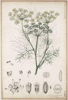 Foeniculum vulgare f