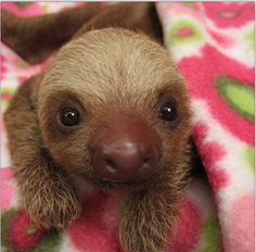 baby sloth daily instagram