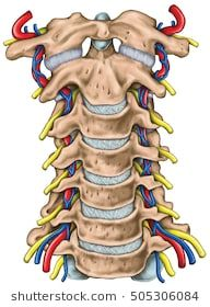 Cervical spine with both vertebral arteries in transverse foramen and the emerging spinal nerves. Topographic relationship of the spinal nerve and vertebral artery. Spinal Nerve, Spinal Cord, Arteries Anatomy, Vertebral Artery, Head And Neck, Bones, Medicine, Science, Radiology